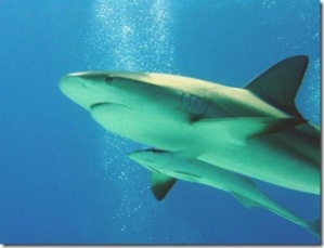 tiburonremora